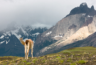 Guanaco - Photo © Carl Amoth