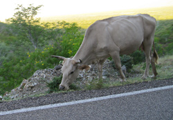 One of the numerous cows along Highway 1 on the drive from La Paz to San Jose del Cabo